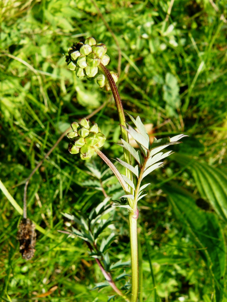 Plantes comestibles Sanguisorba minor - pimprenelle